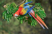 scarlet macaw, Ara macao, on a tree branch, Costa Rica, Central America