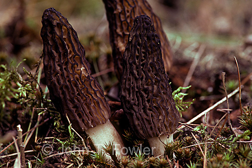 Black morel mushrooms at edible stage, Morchella elata sac fungus