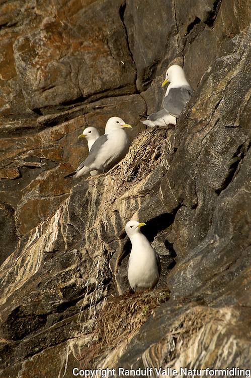 Krykkjer i fuglefjell. ---- Black-legged Kittiwake on bird cliff.