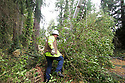 Nov 2, 2013:  Potelco employee Ed Fletcher worked to repair a #4 Copper wire that was knocked down when a tree was blown down along Tracyton NW Blvd and Stampede NW Blvd.