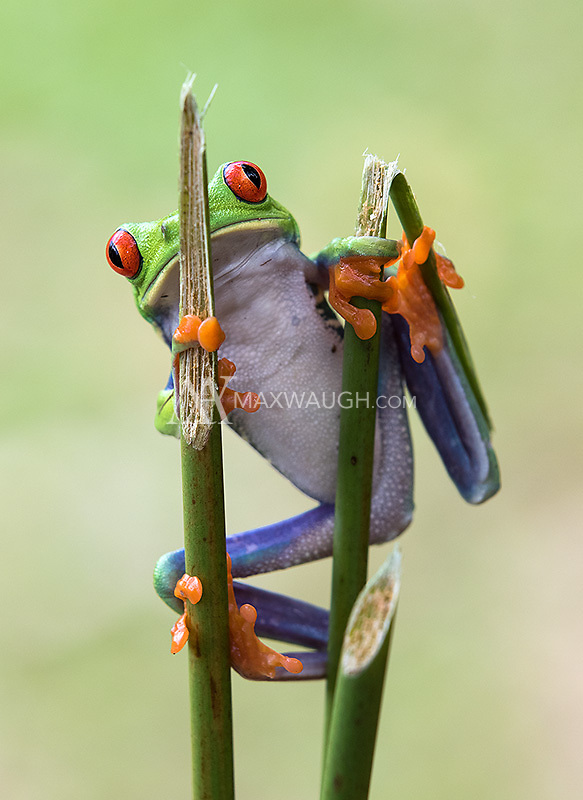 Who doesn't love the red-eyed tree frog?