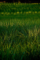 Patos de Minas_MG, Brasil...Plantacao de cana-de-acucar de cachacaria em Patos de Minas, Minas Gerais..Planting of sugar cane of cachaca factory  in Patos de Minas, Minas Gerais..Foto: LEO DRUMOND / NITRO