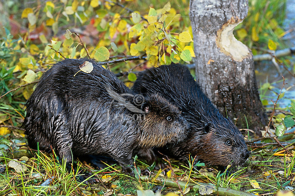 North American Beavers (Castor canadensis) by aspen tree they are cutting down.