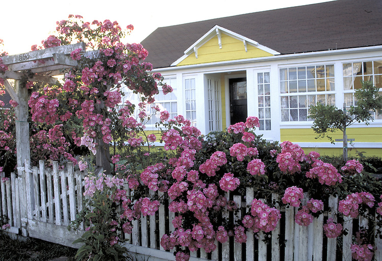 Yellow house and pink roses in Mendocino California