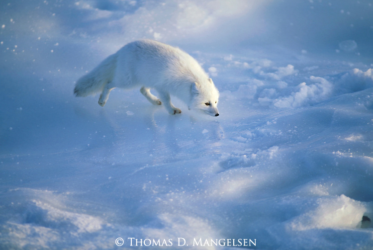 A small Arctic Fox  searches for food on the ice icy frozen tundra in Hudson, Churchill, Manitoba, Canada.