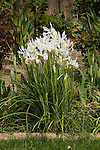 WHITE DUTCH IRIS, IRIS HYBRID