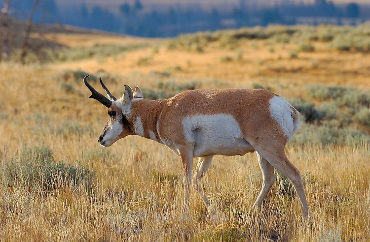 Pronghorn Male, Lava Creek, Yellowstone National Park, Wyoming