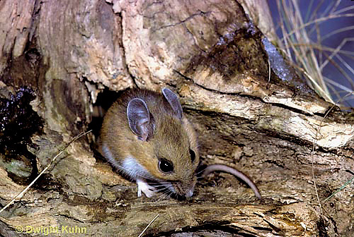 MU14-015z  Deer Mouse - Peromyscus maniculatus