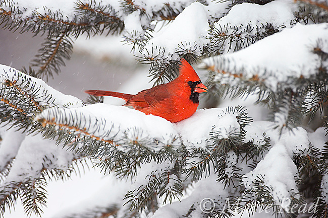 Northern Cardinal (Cardinalis cardinalis) male perched in snow-covered conifer, New York, USA<br /> Nature Picture Library