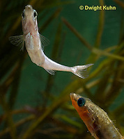 1S47-544z Threespine Stickleback, male courting gravid female with a zigzag dance, she responds with a head-up posture to display her swollen belly, Gasterosteus aculeatus