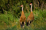 Sandhill Cranes (Grus canadensis) watching something in the distance.  Summer.  Winter, WI.
