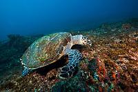 hawksbill sea turtle, Eretmochelys imbricata, feeding on algae, Aliwal Shoal, off Umkomaas, KwaZulu-Natal, South Africa, Indian Ocean