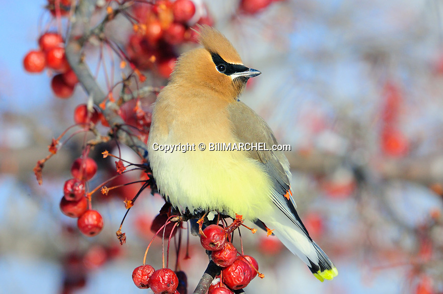 00165-012.08 Cedar Waxwing pauses while feeding on crab apples during winter.  Survive, fruit, insulation, feathers fluffed.