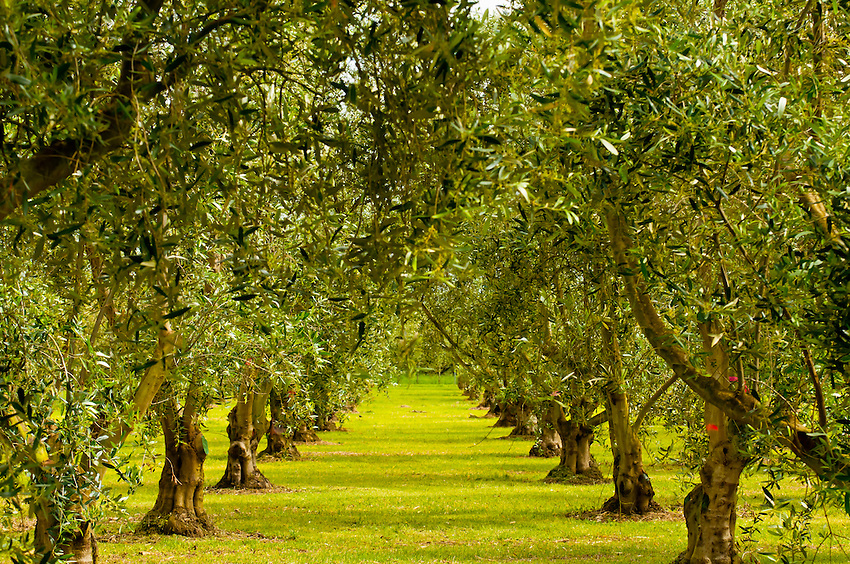 Olive groves, Olivo Olive Oil, Martinborough, South Wairapa region, North Island, New Zealand
