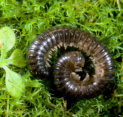 1Y01-005x  Millipede - thousand legger rolled in ball