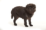 Affenpinscher Dog, Standing, Studio, White Background