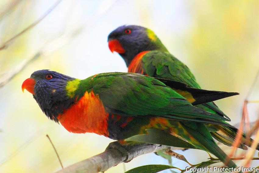 Rainbow Lorikeets, Cania Gorge National Park, Queensland