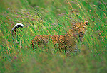 """After hiding her single three-month old cub in the safe heights of a """"sausage"""" tree, a leopard stalks into the wind on a walkabout across the Serengeti."""