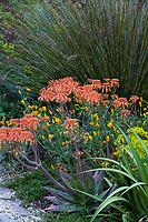 Aloe maculata (aka A. saponaria) Soap aloe or zebra aloe flowering succulent; McAvoy Garden - California summer-dry garden; Ground Studio Landscape Architecture