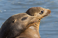 California sea lions (Zalophus californianus) sunning on boat dock (young male on left with female).  Central California Coast.