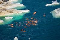walrus, Odobenus rosmarus, swimming around pack ice in the Chukchi Sea, off the National Petroleum Reserves, Alaska