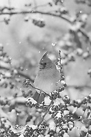 01530-176.17 Northern Cardinal (Cardinalis cardinalis) female in Common Winterberry (Ilex verticillata) in snowstorm, Marion Co. IL