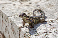Grand Cayman curly-tailed lizard.