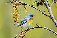northern parula, Setophaga americana, male, singing in spring, Nova Scotia, Canada