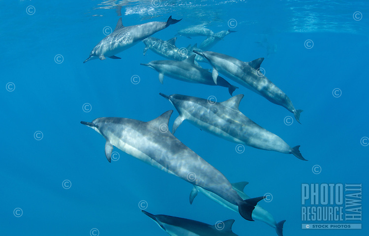 A pod of spinner dolphins swim off the coast of Maui.