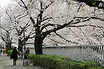 April 10, 2012, Tokyo, Japan - Pedestrians appreciate cherry blossoms in full bloom along Kanda River in Tokyo on Tuesday, April 10, 2012. (Photo by Natsuki Sakai/AFLO) AYF -mis-
