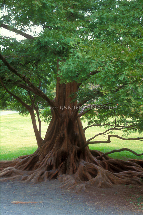 Metasequoia glyptostroboides (Dawn Redwood) tree with visible roots