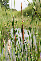 Schmalblättriger Rohrkolben, Typha angustifolia, Lesser Bulrush, Massette à feuilles étroites