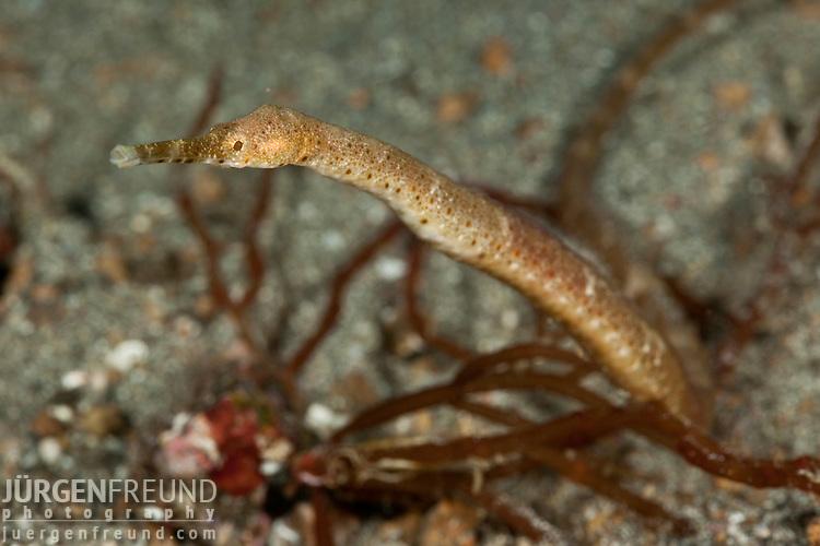 Short-tailed pipefish  (Trachyrhampfus bicoarctatus)