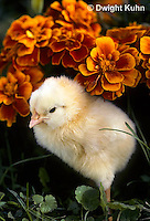 DG05-035x  Chicken - chick newly hatched, fluffy