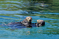 Two Sea Otter courting-playing.