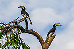 Oriental Pied-Hornbill<br /> (Anthracoceros albirostris) female and male, Kinabatangan River, Sabah, Borneo, Malaysia