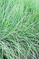 Andropogon gerardii 'Lord Snowdon' Big Bluestem grass