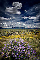 Mountain asters in bloom on the sagebrush and chamisa covered Taos Plateau, a sure sign of autumn.