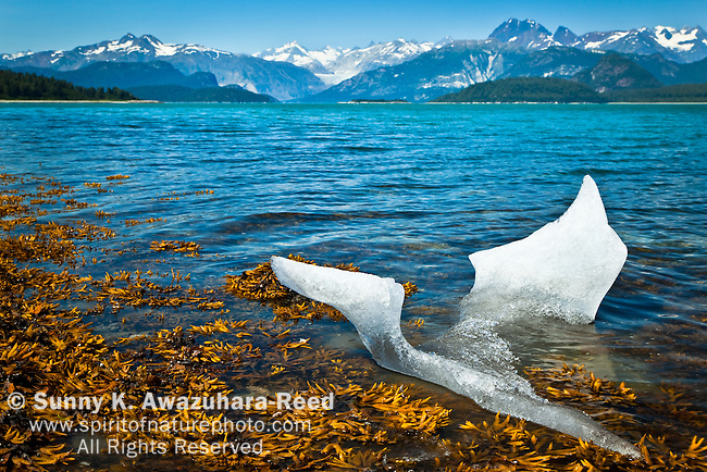 An iceberg from McBride Glacier reached to the shore in Muir Inlet on sunnyday, summer. The coastal mountains are in the background. Rock seaweeds are in the foreground. Glacier Bay National Park & Preserve, SE Alaska.