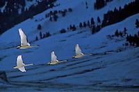 Trumpeter Swan (Cygnus buccinator), Western U.S., November.