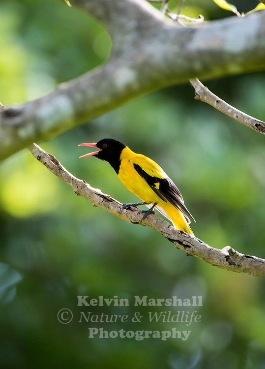 Black-hooded oriole (Oriolus xanthornus) is a member of the oriole family of passerine birds and is a resident breeder in tropical southern Asia from India and Sri Lanka east to Indonesia.