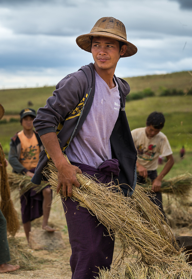 SHAN PROVINCE, MYANMAR - CIRCA DECEMBER 2013: Young farmer holding harvested sticky rice in the countryside.