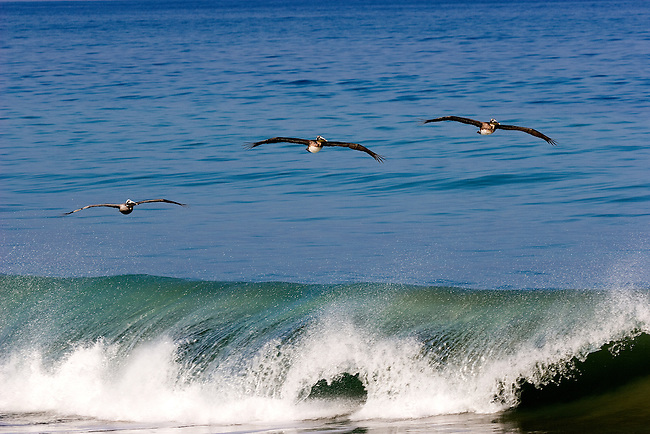 Pelicans gliding above the waves. San Pancho, MX