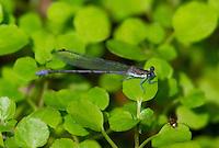 338630014 a wild male springwater dancer argia plana perches on a plant leaf near empire creek las cienegas natural area santa cruz county arizona united states