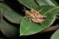 Kleine Knarrschrecke, Paarung, Kopula, Kopulation, Rossis Knarrschrecke, Pezotettix giornae, Pezotettix communis, Rossis grashopper, copulation, pairing