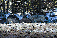Four members of the Wapiti Wolf Pack of Yellowstone National Park feed on a bison kill in late winter.