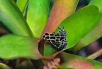 428930005c a captive variable poison arrow frog ranitomeya variabilis perch on a plant leaf in its terrarium in the long beach aquarium