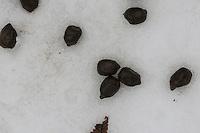 Losung vom Damwild, Kot, im Schnee, Winter, Dam-Wild, Damhirsch, Dam-Hirsch, Cervus dama, Dama dama, Fallow deer, Daim, droppings in winter, snow