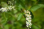Chokecherry blossom, Prunus virginiana