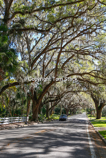 A beautiful tree tunnel road draped with Spanish Moss in the Historic District of Ocala, Florida.